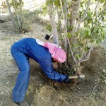 Removal of Qaat required loosening the dirt around the tree and then pulling it with tremendous force until it falls.